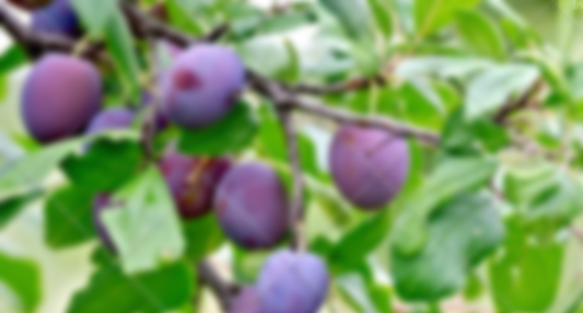 The Plum Life - Why this blog?