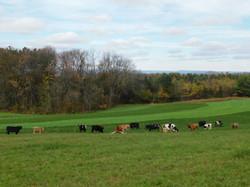 The cattle at Pleasant Paradise Farm