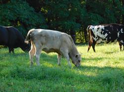 Organic cattle
