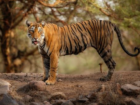 A Tiger Caught Coronavirus?