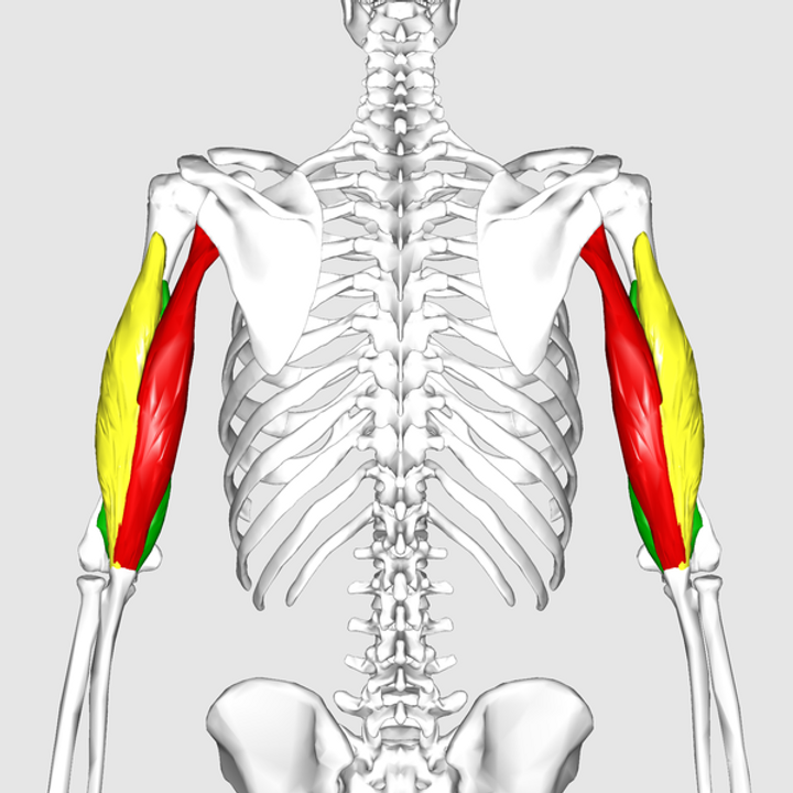 Triceps brachii muscle 1.png