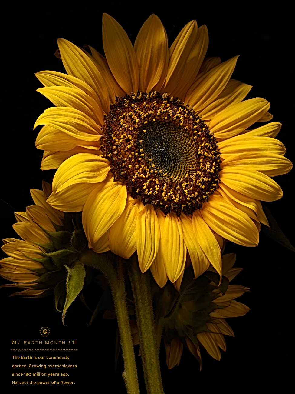 SunflowerWeb.png