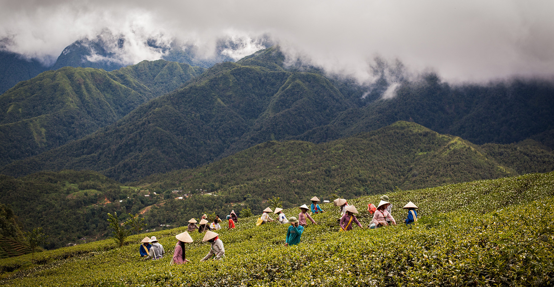 Vietnam_Tea Harvesting.jpg