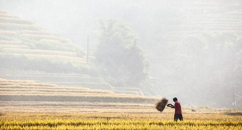 Vietnam_Rice Harvesting.jpg