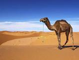 camel desert.jpg