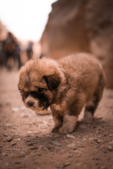 A Lost, Injured Puppy in Petra