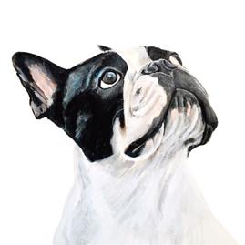 Boston Terrier Custom Portrait by Teresa Curella Art