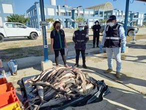El tiburón martillo está protegido en el Ecuador, pero en el papel; el tráfico aumenta