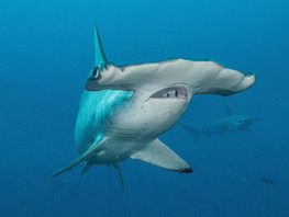 Las evidencias de la pesca ilegal de tiburones se incrementan en el Ecuador