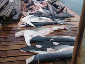"""No es """"ilegal"""" pero entre Ecuador y Perú se blanquean millones de aletas de tiburón"""