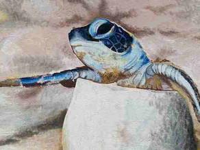 25.500 tortugas marinas nacieron en Same, gracias al cuidado de dos hermanos