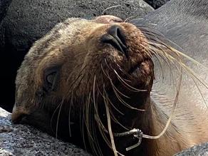 En las islas Galápagos los lobos marinos son víctimas de la pesca con palangre