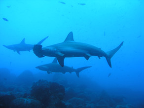 Un error lingüístico descubre lo fácil que es contrabandear aletas de tiburón a Hong Kong
