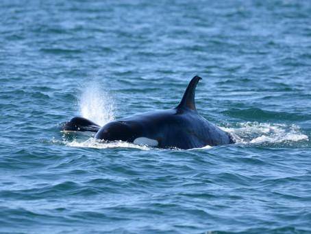 Seis orcas con un juvenil y tres bebés en bahía Urbina, en la  isla Isabela de Galápagos