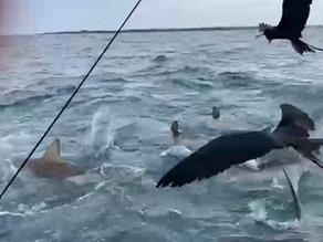 En El Barranco, isla Santa Cruz alimentan tiburones, una práctica prohibida en Galápagos