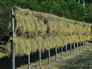 『今年の稲の収穫量』