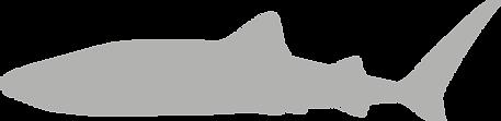 Rhincodontidae.grey.png