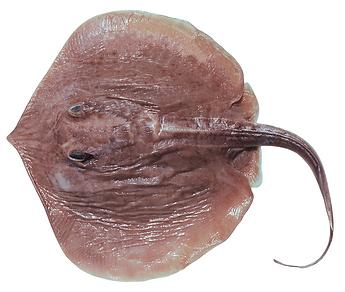 Spinilophus armatus.png