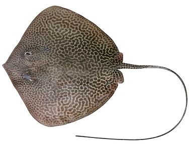 Himantura australis
