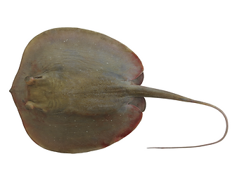 Urogymnus granulatus.png