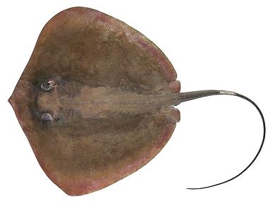 Pateobatis jenkinsii.png