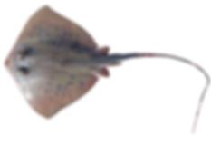 Neotrygon cf. westpapuensis.png