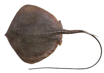 Hemitrygon longicauda