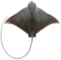 Aetomylaeus caeruleofasciatus.jpg