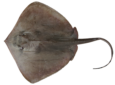 Neotrygon annotata.png