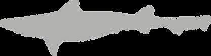 Triakidae.grey.png
