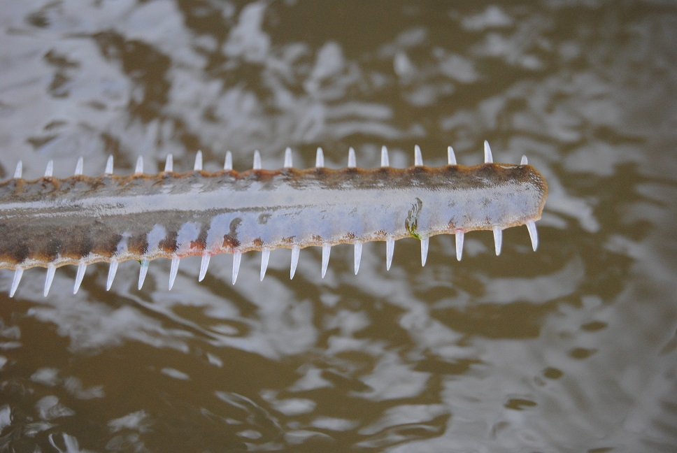 Juvenile smalltooth sawfish rostra from Everglades National Park, Florida, USA. Photo credit John Ca