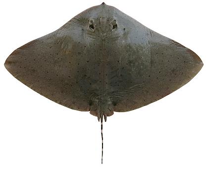 Gymnura australis.png