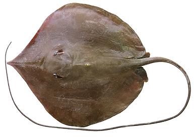 Pateobatis hortlei.png