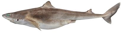Squalus montalbani