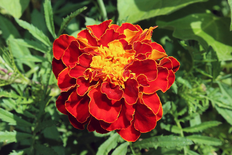 marigold-1412102_1920-1.jpg