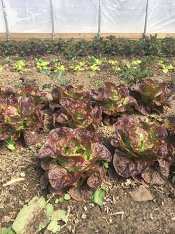 spring lettuce 2020
