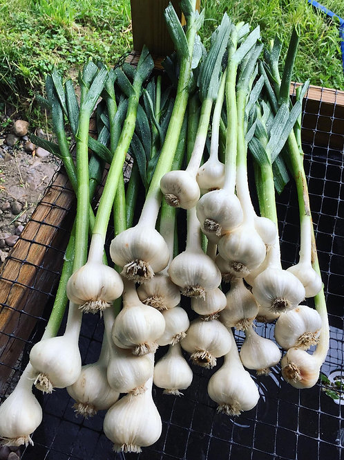 Garlic, German hardneck - large head