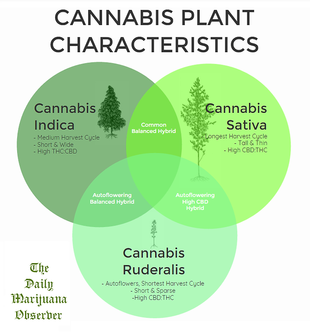 INFOGRAPHIC: Know Your Cannabis Species Characteristics