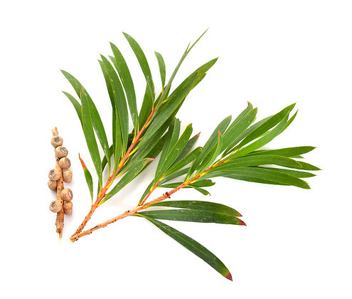 Arbre à thé (Tea tree) huile essentielle