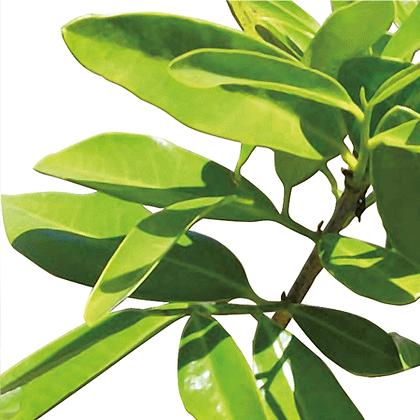 Saro (huile essentielle)