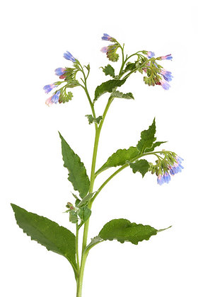 Consoude officinale (hydrolat)