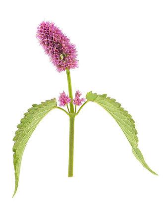Agastache fenouil (plante séchée)