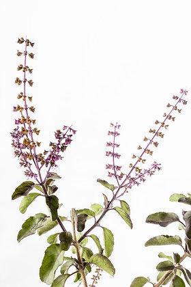 Basilic sacré (plante séchée)