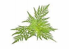 Herbe à poux (hydrolat)
