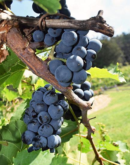 Red Wine on the Vine