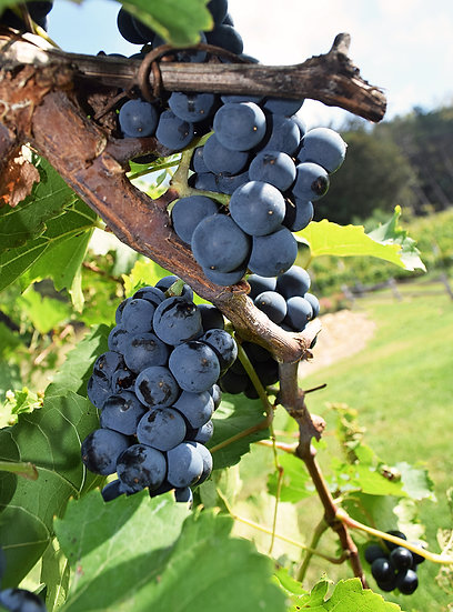 METAL: Red Wine on the Vine
