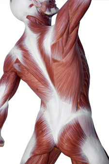 The flexible strength of the connective tissue