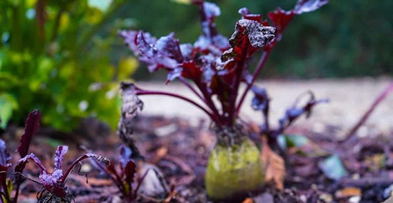 Beetroot, or 'beets' as the Americans ca