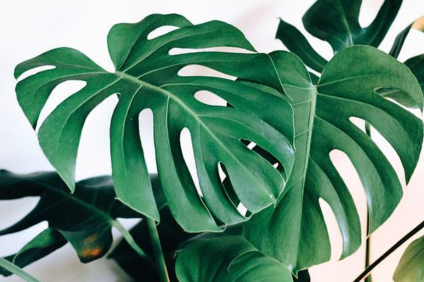 green monstera indoor lat