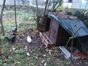 Arrivée des poules à Grivery